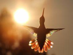 Hummingbird Wings, Hummingbird Pictures, Hummingbird Flowers, Dark Photography, Animal Photography, Amazing Photography, Awsome Pictures, Beautiful Pictures, Nature Animals