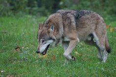 Lupo, Predatore, Natura, Mondo Animale