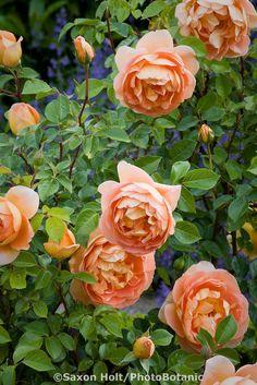 Rosa 'Pat Austin' | Zon III. En färgstark ros uppkallad efter David Austins fru. Denna ovanliga kopparfärgade ros har blommor som är djupt skålformade, tätt fyllda. Kraftigt växtsätt som påminner om 'Golden Celebration' och 'Abraham Darby'. Doften är stark och påminner om terosornas med en dragning åt varm, sinnlig väldoft. 1.2x1m. Austin, 1995.