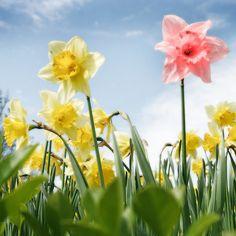 lente bloemen.....roze narcissen...bestaan die echt?danwilikzenu!