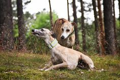 Whippets in the woods