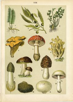 1897 Antique Mushroom Print Book Plate Chromolithograph Toadstools Mushrooms Fungi Forest Cook Chef Food Home Kitchen Decor Gift