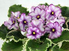 Arabian Night спорт - My site Exotic Flowers, Beautiful Flowers, Perennial Flowering Plants, Inside Garden, Saintpaulia, Sweet Violets, Begonia, Pansies, Houseplants
