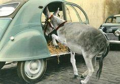 Un âne à l'arrière d'une 2cv! 50's: