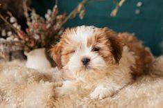 Zuchon - Alles over hondenrassen ✓ Puppy, Lhasa Apso, Shih Tzus, Bichon Frise, Dogs, Animals, Flower, Animais, Animales