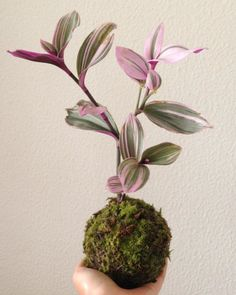 Kokedama: learn the technique and get inspired with fantastic arrangements Night Blooming Flowers, Fall Flowers, Ikebana, Hanging Plants, Indoor Plants, String Garden, Pink Plant, Low Maintenance Plants, Colorful Plants