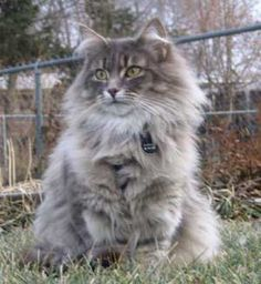 Dedicated to the preservation and welfare of the Norwegian Forest Cat. We are breeders of Norwegian Forest Cats in Woodbury, Minnesota. Pretty Cats, Beautiful Cats, Cute Cats, Adorable Kittens, Baby Cats, Cats And Kittens, Ragdoll Kittens, Funny Kittens, Bengal Cats