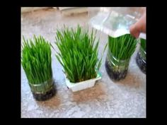 How to grow your own wheat grass at home.  For juicing!  Can easily be done in mason jars.