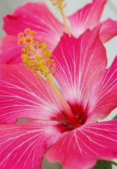 Hibiscus is the ultinate in tropical flowers- see if your local florist can source some for your party Growing Hibiscus, Hibiscus Plant, Hibiscus Flowers, Exotic Flowers, Tropical Flowers, My Flower, Pink Flowers, Beautiful Flowers, Hawaiian Flowers