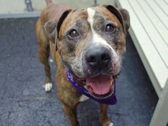 TO BE DESTROYED - 8/7/14 Manhattan Center -P  My name is HULK. My Animal ID # is A1008987. I am a male bl brindle pit bull mix. The shelter thinks I am about 4 YEARS old.  I came in the shelter as a STRAY on 08/02/2014 from NY 10457, owner surrender reason stated was STRAY. https://www.facebook.com/Urgentdeathrowdogs/photos/a.611290788883804.1073741851.152876678058553/850236988322515/?type=3&theater
