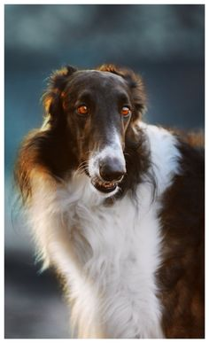 Leonard • borzoi Animal 2, Budapest, Dog Cat, Cats, Gatos, Cat, Kitty, Kitty Cats