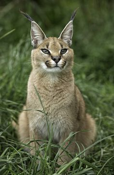"""The caracal is a medium sized cat which it spread in West Asia, South Asia, and Africa. The word Caracal is from Turkey """"Karakulak"""" which means """"Black Ears"""". Here is all about caracal as a pet. Caracal Caracal, Caracal Kittens, Big Cats, Cute Cats, Big Cat Species, Cat Whisperer, F2 Savannah Cat, Exotic Cats, Fauna"""
