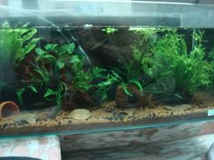 Tank setup for Betta channoides - Page 2 Betta Tank, Halfmoon Betta, Betta Fish Tank