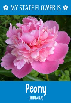 #Indiana's state flower is the Peony. What's your state flower? http://pinterest.com/hometalk/hometalk-state-flowers/