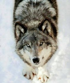 Beautiful Akasha~ - A Land Of Wolves Fairytales & Darkness