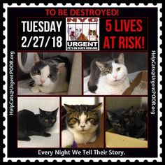 "TO BE DESTROYED 02/27/18 - - Info   Please share View tonight's list here: http:// nyccats.urgentpodr.org/ tbd-cats-page/. The shelter closes at 8pm. Go to the ACC website( http:/www.nycacc.org/ PublicAtRisk.htm) ASAP to adopt a PUBLIC LIST cat (noted with a ""P"" on their profile) a… CLICK HERE FOR ADDITIONAL INFO/P...-  Click for info & Current Status: http://nyccats.urgentpodr.org/to-be-destroyed-32017/"