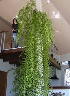 Bilderesultat for grande plante d'intérieur