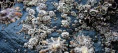 Barnacles: Liberal Education and the Art of Coming Unstuck - The Imaginative Conservative Liberal Education, Rock Pools, Natural Forms, Marine Life, Seaweed, Sea Creatures, Under The Sea, Ecology, Sea Shells