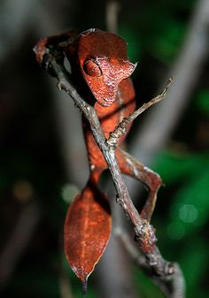Satanic leaf tailed Gecko | ... Disguised: The Satanic Leaf-tailed Gecko : The Featured Creature