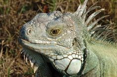 REPTILIEN | Leguan als prächtiger Vertreter der Reptilien