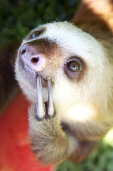 """I wonder what happiness will feel like TOMORROW?"" The 27 Happiest Sloths In The World The Animals, Cute Baby Animals, Funny Animals, Smiling Animals, Wild Animals, Cute Sloth Pictures, Baby Sloth Pictures, Cute Baby Sloths, Baby Otters"