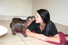 Baby Hippo kisses caretaker ♥