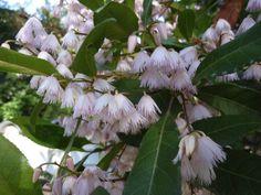 Elaeocarpus reticulatus Australian Native Garden, Australian Plants, Native Gardens, Native Plants, Flower Power, Clay, Flowers, Clays, Royal Icing Flowers