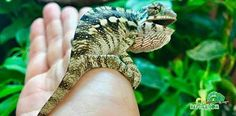 Buy panther chameleon for sale online. Panther chameleon breeders buy baby panther chameleons for sale near me. Best place to buy baby panther chameleons. Chameleons For Sale, Baby Panther, Animals, Wall, Animales, Animaux, Animal, Animais