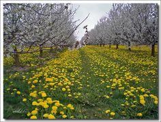 Bloesems en weidebloemen in de omgeving van Sint-Truiden (B)