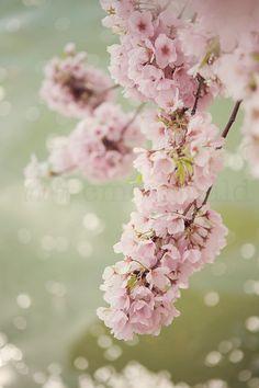 Pink, Cherry Blossom, Spring, Festival, Washington, D.C
