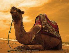 Camel ride in Asilah, Morocco, Africa. Desert Dream, Desert Life, Lamas, Death On The Nile, Desert Colors, Arabian Nights, North Africa, Animal Kingdom, Marrakech