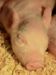 SERIOUSLY want a pet pig more than anything!