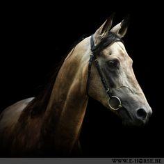 Black series van Prianik, akhal-teke hengst | e-horse | paardenfotografie