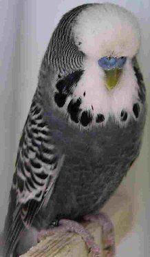 Anthracite Budgie Parakeet