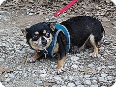 New York, NY - Chihuahua. Meet Kateland! ***FOSTER NEEDED***, a dog for adoption. http://www.adoptapet.com/pet/12766494-new-york-new-york-chihuahua