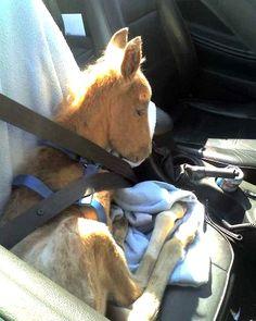 Foal in a car, haha if I had a foal I would soooooo do this!