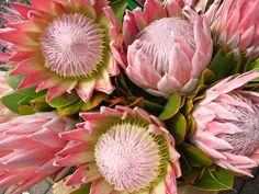Gorgeous pink protea flowers taken in the market in Hobart, Tasmania, December 2008.