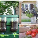 Vypěstujte si vlastní rajčata. Bez postřiků, na balkóně, v 2 litrové láhvi