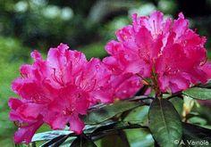 'Hellikki' - nukka-alppiruusu - Rhododendron Smirnowii-Ryhmä