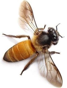 Honey Bee by beatriz