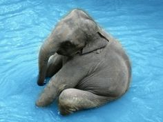 """March Madness: Semifinal Lightning Round Baby Elephant Calf: """"I LOVE Water, so I've just plonked myself down on my posterior!""""Baby Elephant Calf: """"I LOVE Water, so I've just plonked myself down on my posterior! Cute Creatures, Beautiful Creatures, Animals Beautiful, Cute Baby Animals, Animals And Pets, Funny Animals, Wild Animals, Animal Pictures, Cute Pictures"""