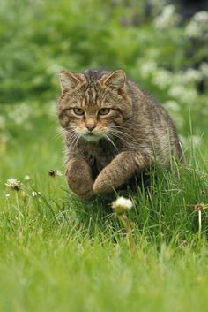 A scottish wildcat taken at the British wildlife center last week.