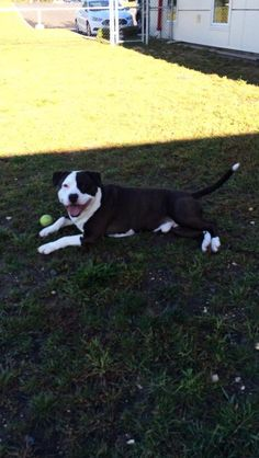 Meet Atticus 14-466 a Petfinder adoptable American Staffordshire Terrier Dog | Toms River, NJ | My name is Atticus I am a 4 year old, neutered, American Staffordshire Terrier/ love bug.