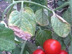 gombafertőzött pradicsom Vegetables, Garden, Garten, Vegetable Recipes, Veggie Food, Gardens, Veggies, Tuin, Yard
