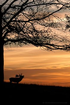 Calling Red Deer, Woburn Deer Park, Bedfordshire |  by George** on Flickr