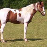 Missouri Fox Trotter : The Missouri Fox Trotter is an American breed of horse with a unique four beat gait. It was bred in the Ozark Mountain foothills, and used by settlers who valued its smoothness.
