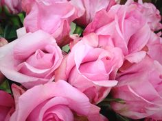 Sanoi rose from South America Light Pink Flowers, Cut Flowers, Wholesale Florist, Color Show, South America, Flower Power, Flora, Roses, Plants