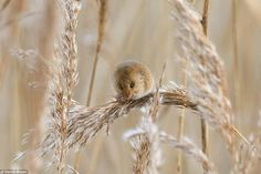 Light as a Feather: A harvest mouse nibbles away as it balances on top of a grass stem (photo by Dennis Brown) Funny Cats, Funny Animals, Cute Animals, Cute Photos, Cute Pictures, Harvest Mouse, Cat Vs Dog, Photography Competitions, British Isles