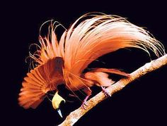 Google Image Result for http://www.scienceofcorrespondences.com/user/cimage/birdofparadise-jw.jpg