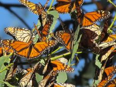 #goleta IMG_4588 by Eudaemonius, via Flickr - the butterfly grove by our house :)